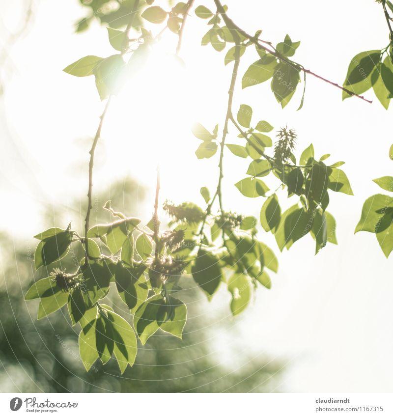 Lichtspiel Umwelt Natur Pflanze Himmel Sonne Sommer Schönes Wetter Baum Blatt hell grün Zweige u. Äste durchscheinend Unschärfe grell Farbfoto Außenaufnahme