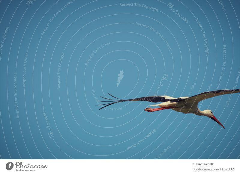 Auf und davon Natur Tier Himmel Wolkenloser Himmel Schönes Wetter Wildtier Vogel Flügel Storch 1 fliegen flüchten Farbfoto Außenaufnahme Menschenleer