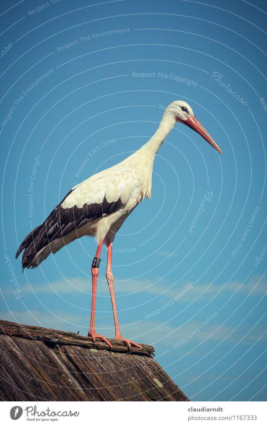 Adebar Natur Tier Wolkenloser Himmel Schönes Wetter Wildtier Vogel Storch 1 stehen Beine Dachfirst Farbfoto Außenaufnahme Menschenleer Textfreiraum oben