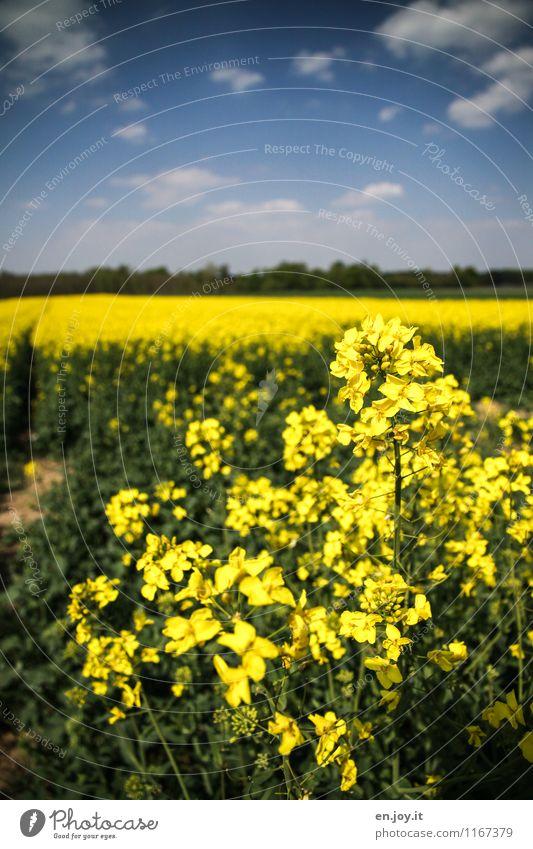 Monokultur Himmel Natur Ferien & Urlaub & Reisen Pflanze Sommer Landschaft Wolken Gesunde Ernährung Umwelt gelb Blüte Frühling Horizont Feld Wachstum