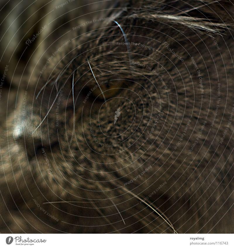 Alter Perser Senior Auge Tier grau Katze Fell Säugetier Haustier geduldig Ausdauer Hauskatze erhaben Schnurrhaar Landraubtier grauhaarig Katzenauge