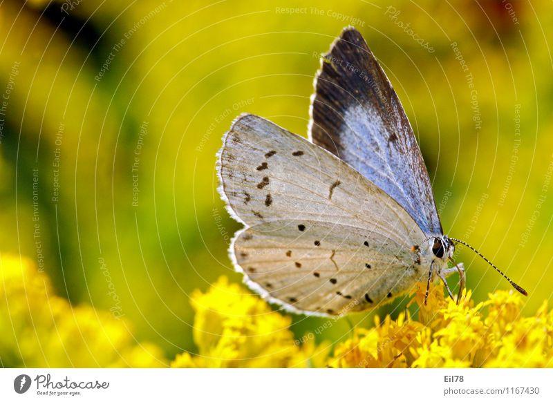 Faulbaum-Bläuling Tier Schmetterling 1 Zufriedenheit Lebensfreude Frühlingsgefühle Bläulinge Kanadische Goldrute Lycaenidea Tagfalter Farbfoto Außenaufnahme