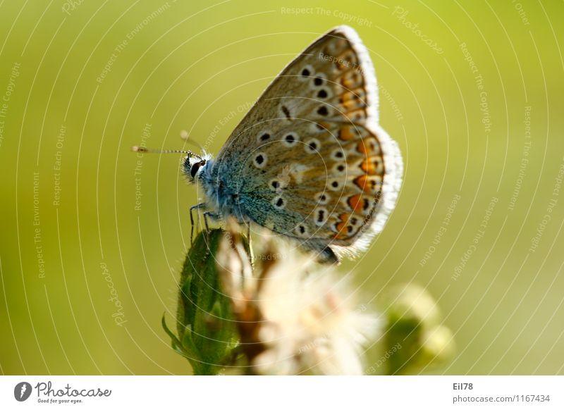 Hauhechelbläuling Schmetterling 1 Tier Freude Fröhlichkeit Lebensfreude Frühlingsgefühle seitwärts Sommer Farbfoto mehrfarbig Außenaufnahme Nahaufnahme