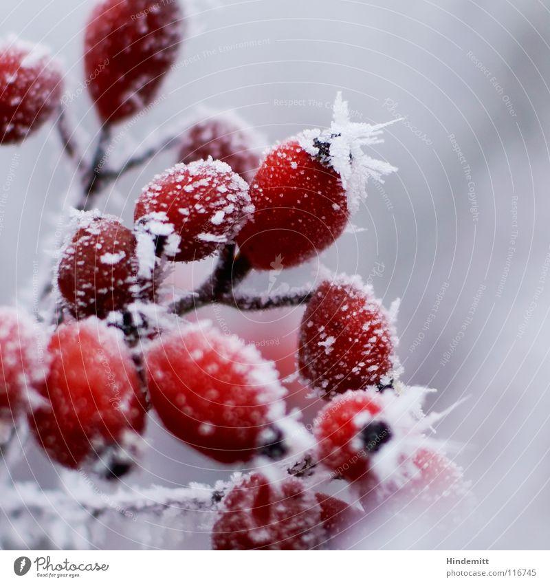 Erwachsene Rosen für erwachsene Menschen schön weiß rot Winter schwarz Farbe Leben kalt Schnee Herbst grau Blume hell Nebel Frucht