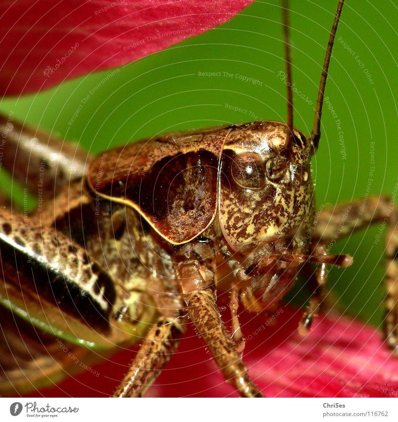 Gewoehnliche_Strauchschrecke_02 Heuschrecke Heimchen grün braun rosa springen Fühler Sommer Insekt Tier Lebewesen Nordwalde Makroaufnahme Nahaufnahme