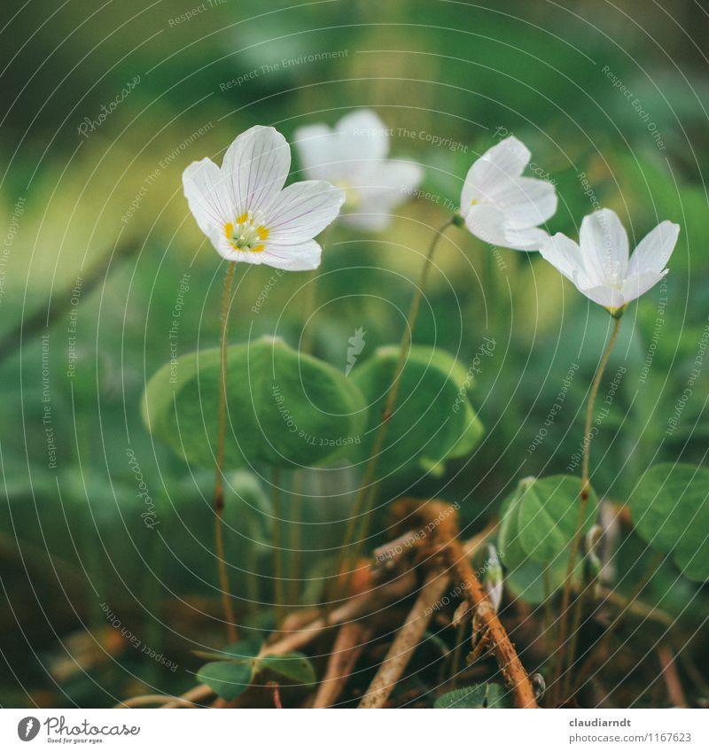 Waldsauerklee Umwelt Natur Pflanze Frühling Blume Blüte Wildpflanze Wald-Sauerklee Klee Kleeblatt Kleeblüte Blühend grün weiß zart zartes Grün Waldlichtung