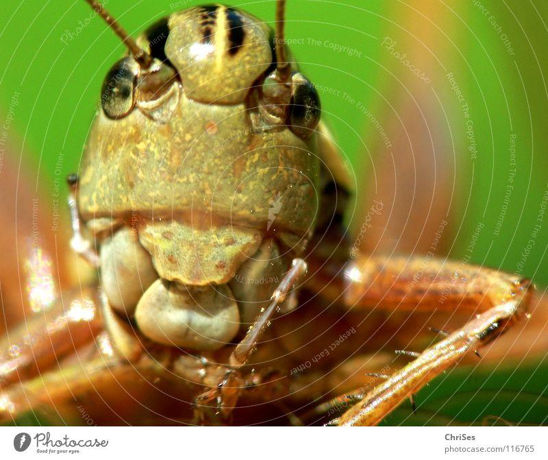 Gewöhnliche Gebirgsschrecke_01 grün Sommer Tier Auge springen braun Insekt Lebewesen Fühler Heuschrecke normal Nordwalde Heimchen
