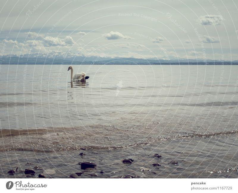 mein lieber schwan Natur Landschaft Urelemente Wasser Himmel Wolken Frühling Wetter See Bodensee Tier Schwan 1 Zeichen genießen Blick schaukeln