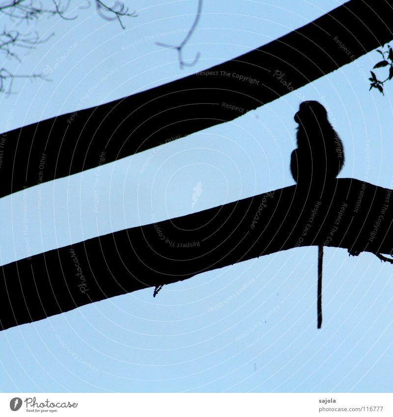 longtail macaque Himmel blau Baum Tier schwarz Wildtier sitzen Tiergesicht lang Asien Urwald Abenddämmerung Säugetier Schwanz Affen Geäst