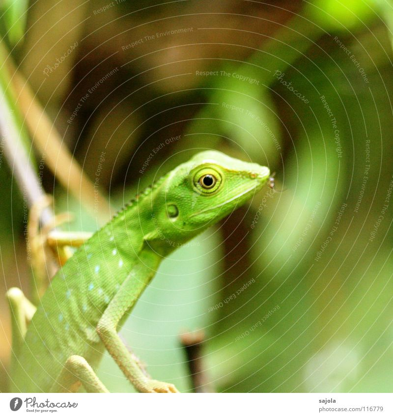 green lizard grün Tier Auge Wildtier festhalten Klettern Asien Insekt Urwald Maul Reptil Tarnung Echsen Stechmücke regenerativ Echte Eidechsen
