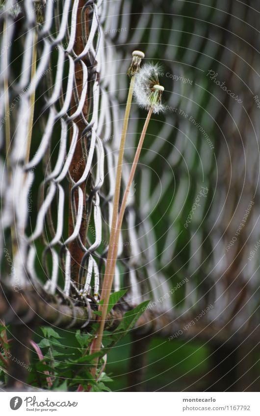 vergänglich Umwelt Natur Pflanze Frühling Blume Grünpflanze Wildpflanze Löwenzahn Zaun Maschendrahtzaun Metall alt dünn authentisch einfach hoch kaputt lang