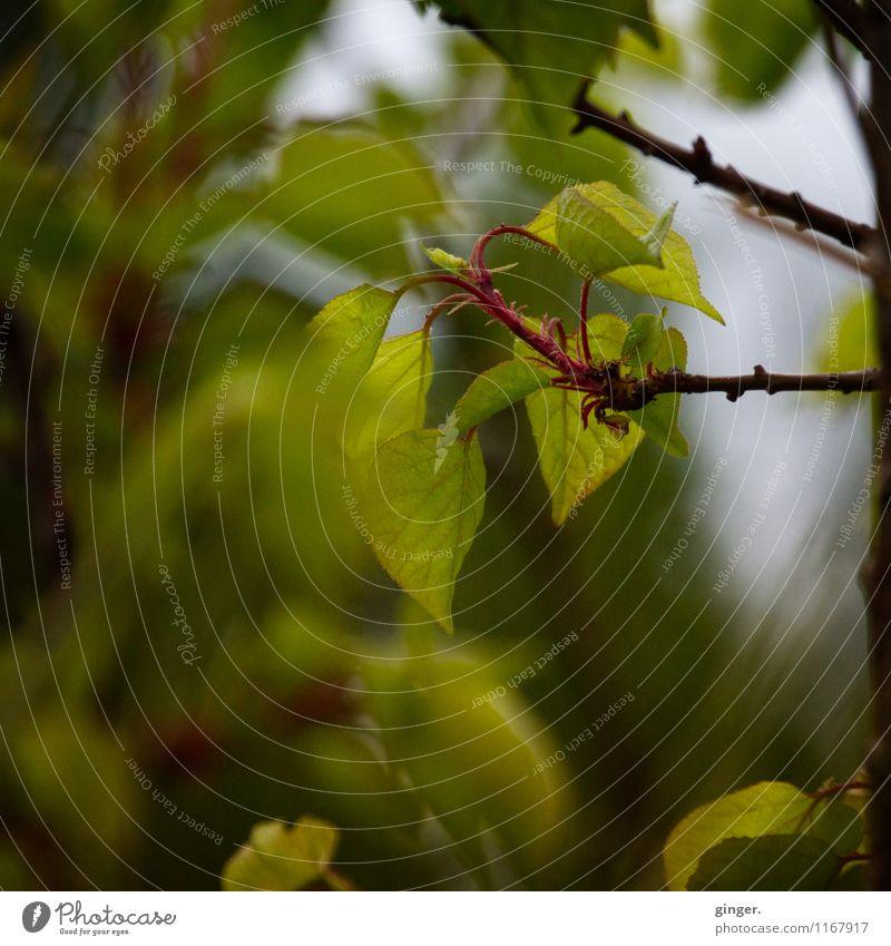 - kanariengrün - Umwelt Natur Pflanze Sträucher frisch braun grau kalt Jungpflanze durchscheinend Blatt Blattknospe Ast zartes Grün Blattadern Farbfoto
