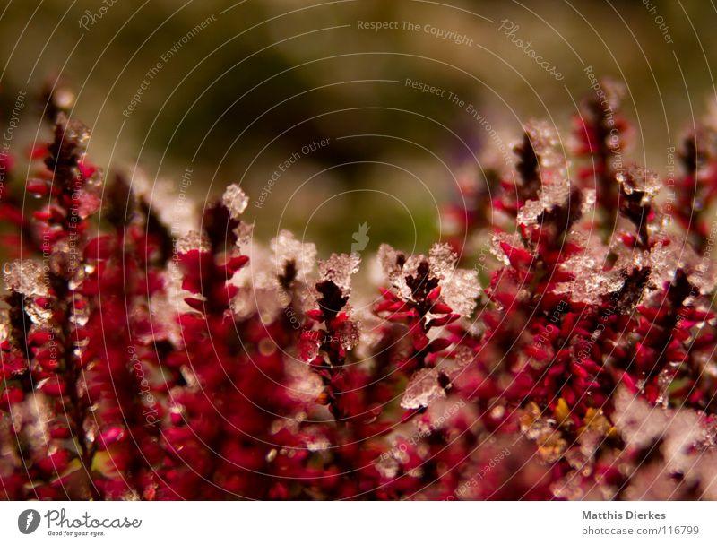 Heide Winter Eis Pflanze rot rosa Hintergrundbild Blumenbeet Unschärfe selektiv bewegungslos Friedhof Ausdauer kalt frieren Eiszapfen Dezember Frühling Stengel