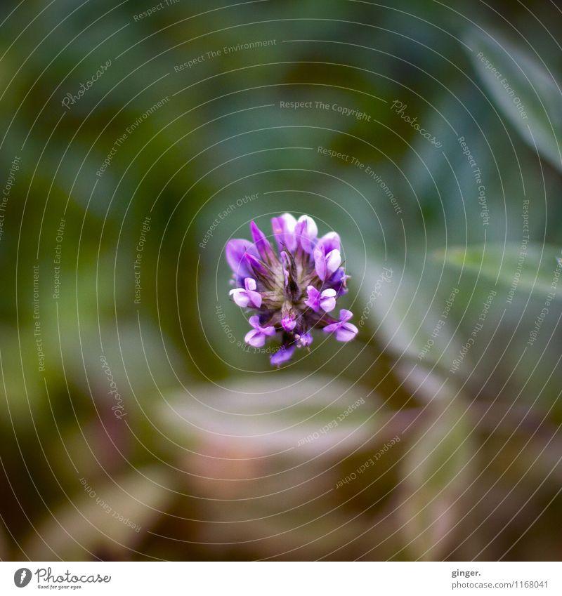 don't praise me to the skies Umwelt Natur Pflanze Frühling Blume frisch schön natürlich braun grün violett Klee Kleeblüte langstielig einzeln Verlauf Blühend