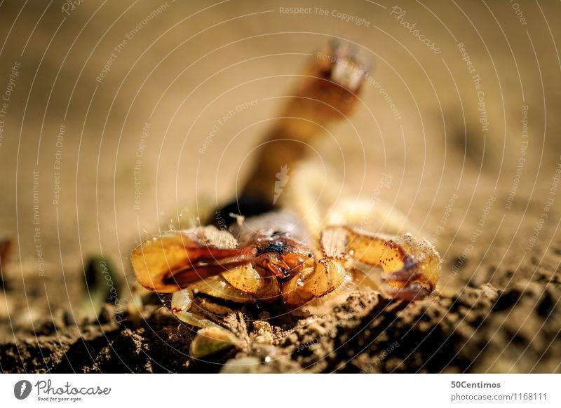 Der Skorpion in angriffsposition Wüste Wildtier 1 Tier kämpfen Tod Überleben Erde Geschwindigkeit Gift gefährlich Farbfoto Gedeckte Farben Außenaufnahme
