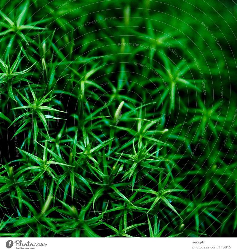 Moos Natur Pflanze grün Hintergrundbild klein Wachstum Stern (Symbol) weich Stengel Botanik Nest Flechten Waldboden Sporen