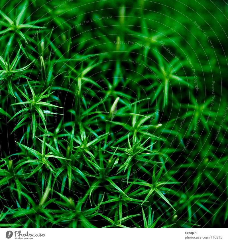 Moos Pflanze grün Hintergrundbild Laubmoos Bodendecker Sporen Symbiose Natur mikro Flechten Makroaufnahme Botanik Wachstum Strukturen & Formen Waldboden klein
