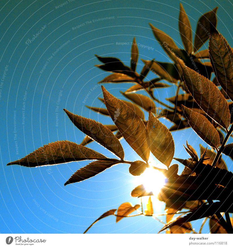 Grünzeug Blatt blenden braun Gefäße Färbung dunkel Pflanze Licht Sonnenlicht grell Beleuchtung zudecken Ast Himmel Natur blau Schatten hell