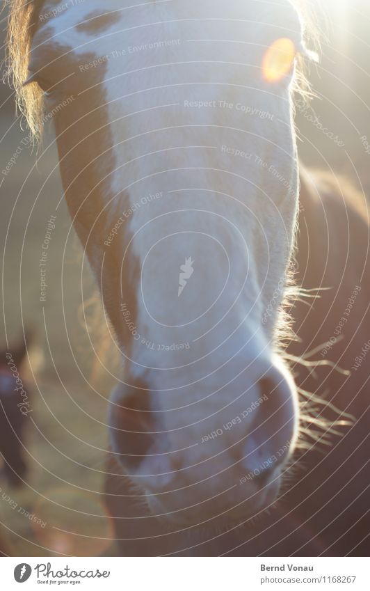 Pferd Haare & Frisuren Sonne Tier Fell Freundlichkeit nah Neugier braun Nasenloch Auge Blende Wimpern Nüstern Farbfoto Außenaufnahme Nahaufnahme Menschenleer
