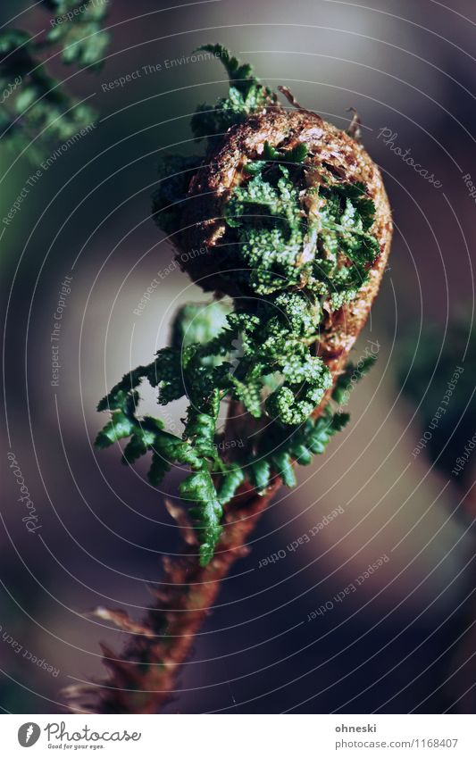 Farn Pflanze Blatt Grünpflanze Wildpflanze Wald Wachstum natürlich grün Beginn Farbfoto Außenaufnahme Nahaufnahme Strukturen & Formen Textfreiraum rechts