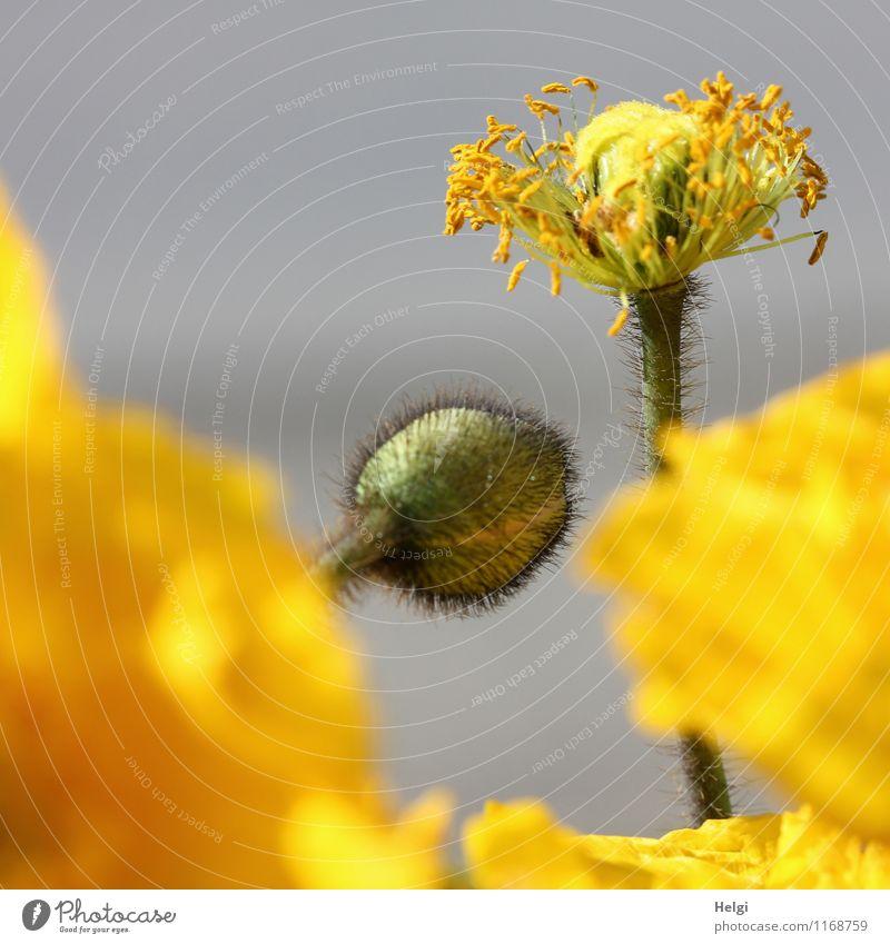 Papaver nudicaule Natur Pflanze schön grün Blume Umwelt gelb Leben Blüte Frühling natürlich grau Garten frisch Wachstum authentisch