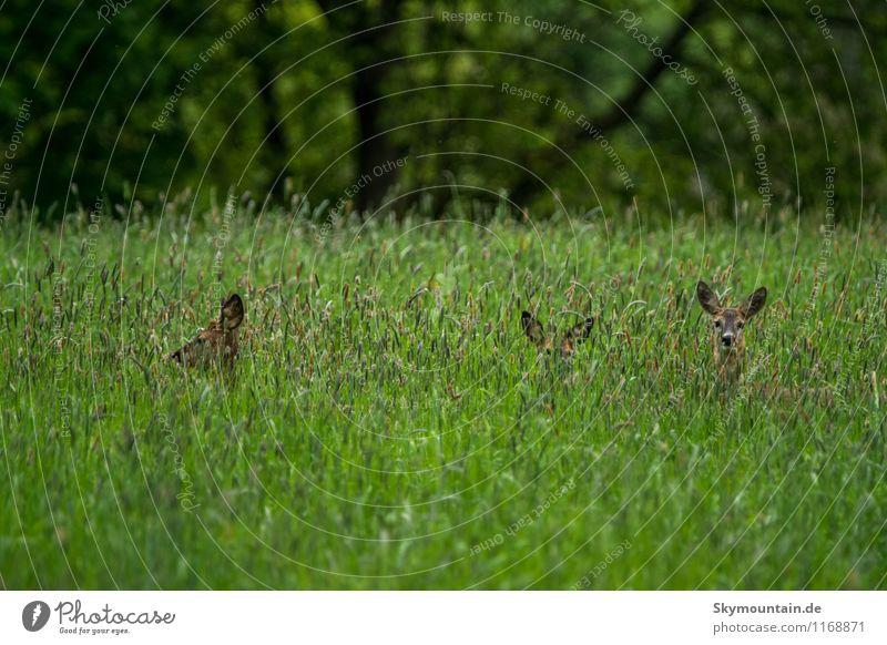 Rehe im Gras 2 Umwelt Natur Landschaft Pflanze Tier Frühling Sommer Wildpflanze Wiese Feld Wald Wildtier Rehauge 4 Tiergruppe Herde Rudel Tierfamilie beobachten