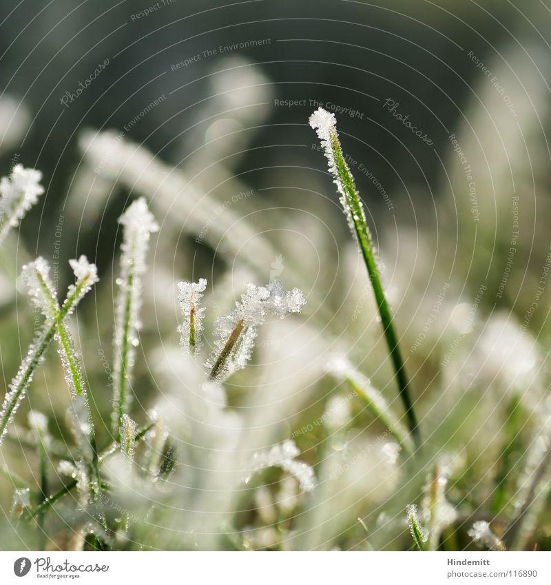 Wintergrün in weiß Gras Halm kalt Nebel Raureif glänzend süß Zucker überzogen Unschärfe vertikal stehen Wiese Eis Kristallstrukturen Schönes Wetter hell