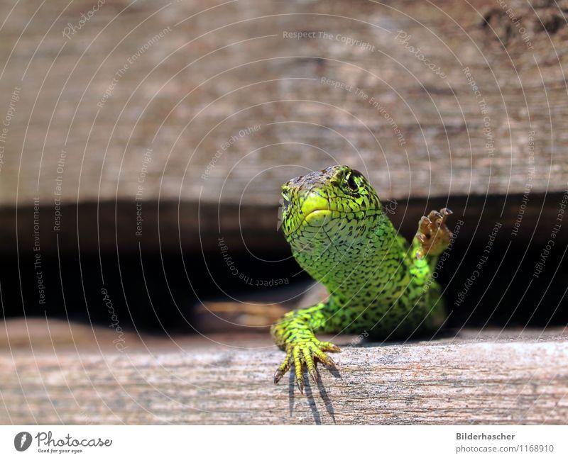 Krallenmonster Zauneidechse Echte Eidechsen Echsen Reptil maskulin unbeständig Sonnenbad Nahaufnahme Brunft Horn Schuppen Tierhaut Tierporträt heizen