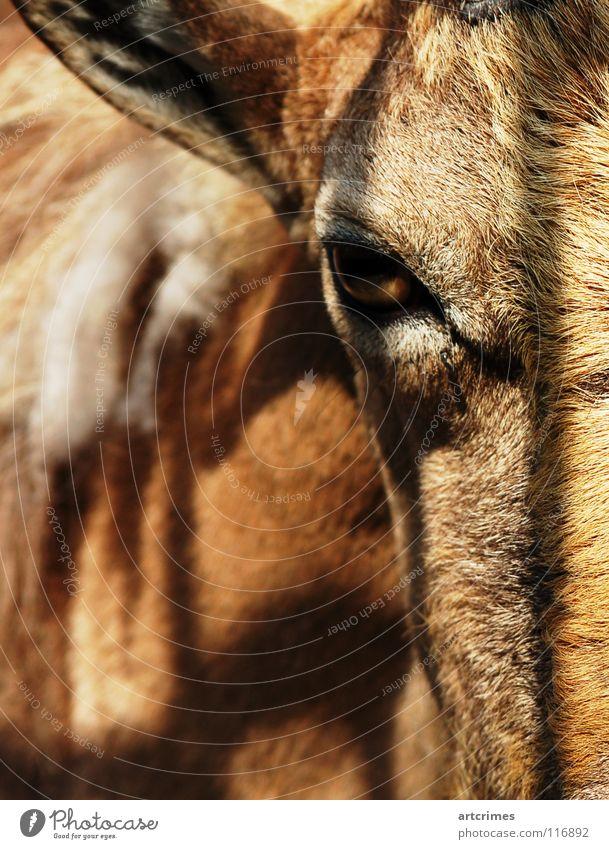 der Bock mit dem Stein davor Natur ruhig Tier Auge Traurigkeit braun stehen Trauer Ohr nah Fell Zoo Zaun Tiefenschärfe Säugetier gefangen