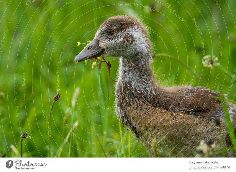 Nilgans Junges im Gras 2 Natur Pflanze Landschaft Tier Umwelt Tierjunges Frühling Wiese natürlich Essen Vogel Feld frisch Wildtier frei