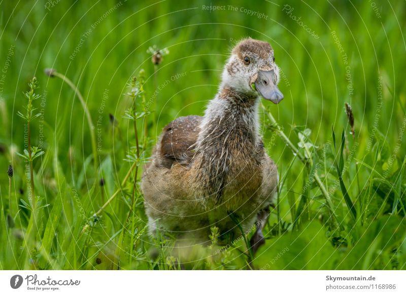 Nilgans Junges im Gras 4 Natur Pflanze schön Erholung Landschaft Tier Umwelt Tierjunges Frühling Wiese klein außergewöhnlich Vogel Feld Wildtier