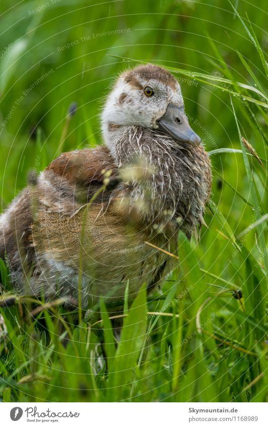 Nilgans Junges im Gras 5 Natur Pflanze grün Erholung Landschaft Tier Umwelt Tierjunges Frühling Wiese Glück Vogel träumen Feld Wildtier