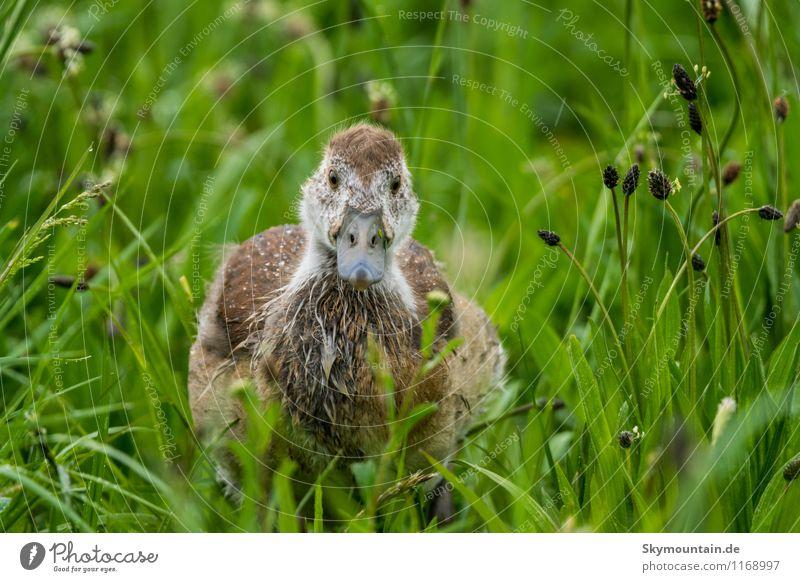 Nilgans Junges im Gras 7 Natur Pflanze grün Erholung Landschaft Tier Umwelt Tierjunges Frühling Wiese Glück grau braun Vogel Feld