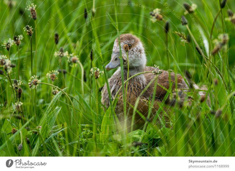 Nilgans Junges im Gras 6 Umwelt Natur Landschaft Pflanze Tier Frühling Wiese Feld Seeufer Flussufer Wildtier Vogel 1 Tierjunges entdecken Erholung Fressen