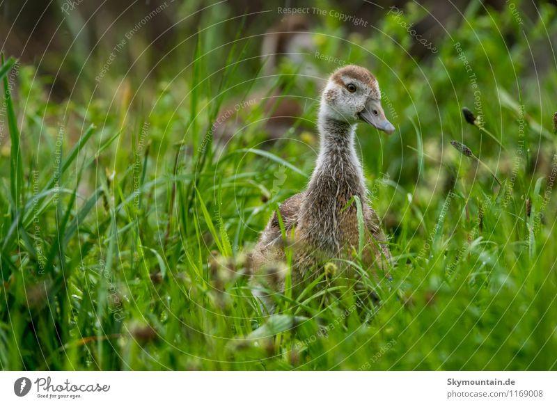 Nilgans Junges im Gras 8 Natur Pflanze Erholung Landschaft Freude Tier Umwelt Tierjunges Frühling Wiese natürlich Glück Vogel Feld Wildtier