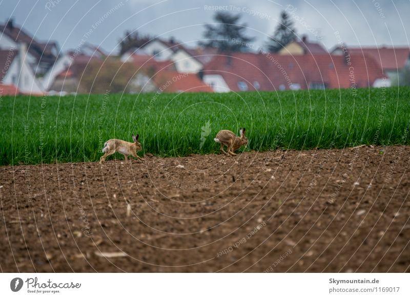 Feldhasen Natur Pflanze grün Sommer Landschaft Tier Umwelt Frühling Bewegung Wiese natürlich braun springen Wildtier frei
