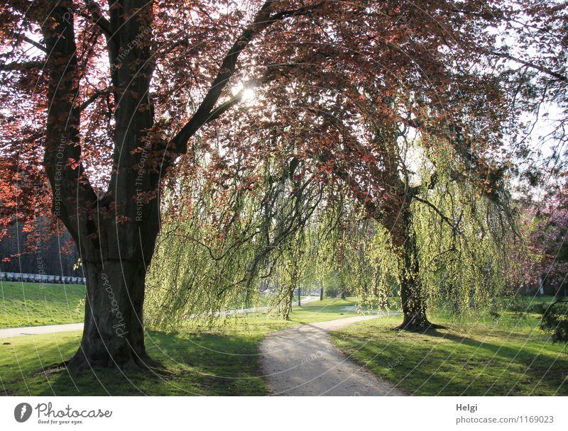 1100 | Abendsonne im Park... Umwelt Natur Landschaft Pflanze Frühling Schönes Wetter Baum Gras Buche leuchten stehen Wachstum ästhetisch frisch schön natürlich