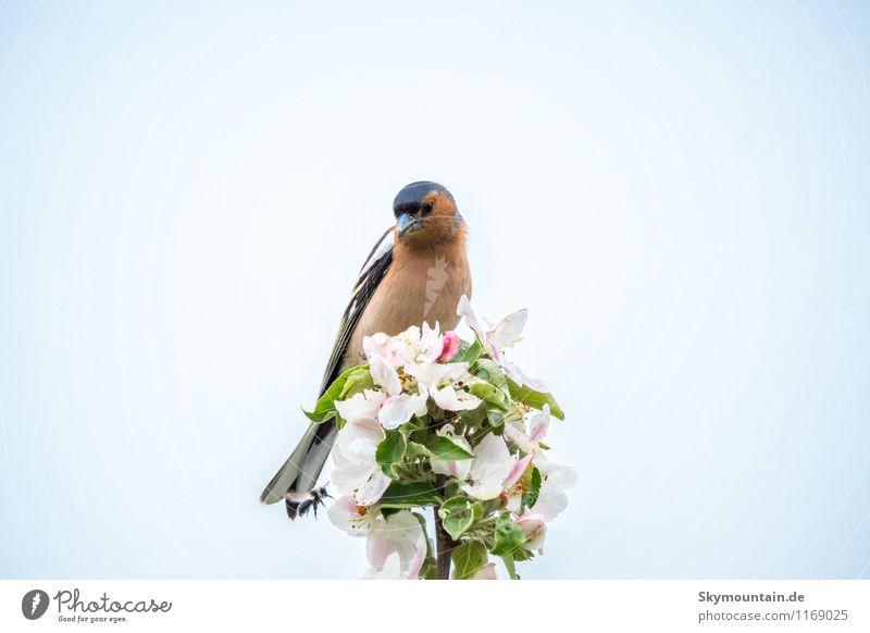Buchfink (Fringilla coelebs) auf Apfelblüte 2 Umwelt Natur Landschaft Pflanze Tier Wolkenloser Himmel Frühling Schönes Wetter Baum Blatt Blüte Nutzpflanze