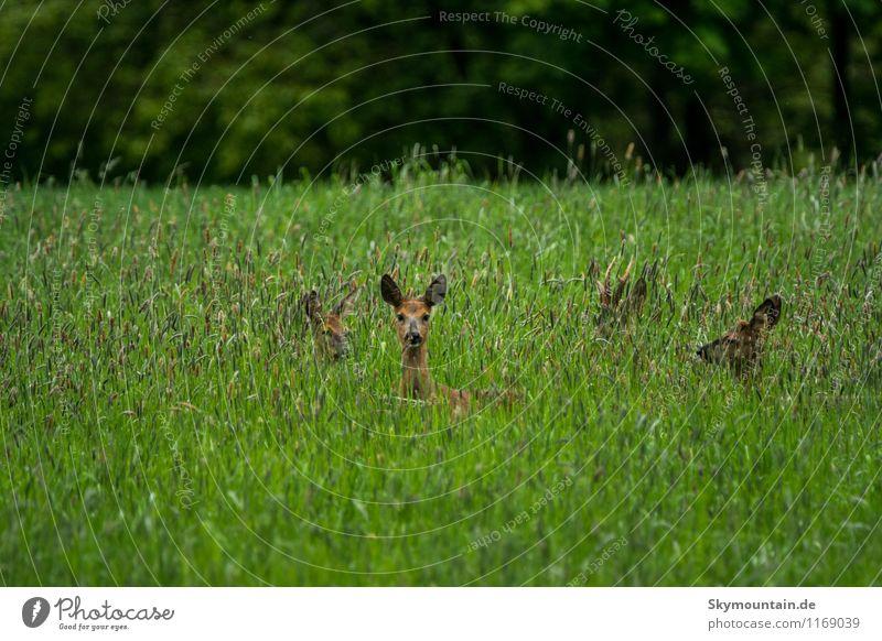 Rehe im Gras Umwelt Natur Landschaft Pflanze Tier Frühling Sommer Wildpflanze Wiese Feld Wald Wildtier Rehauge 4 Tiergruppe Herde Rudel Tierfamilie beobachten