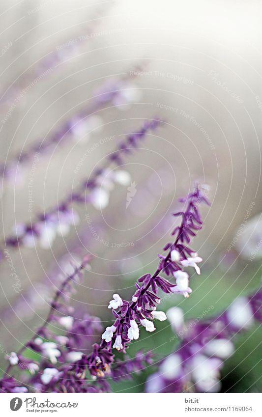 lila Spitzen Natur Pflanze Sommer Erholung Blume ruhig Leben Blüte Frühling Herbst Gesundheit Glück Garten Gesundheitswesen Lifestyle Freizeit & Hobby