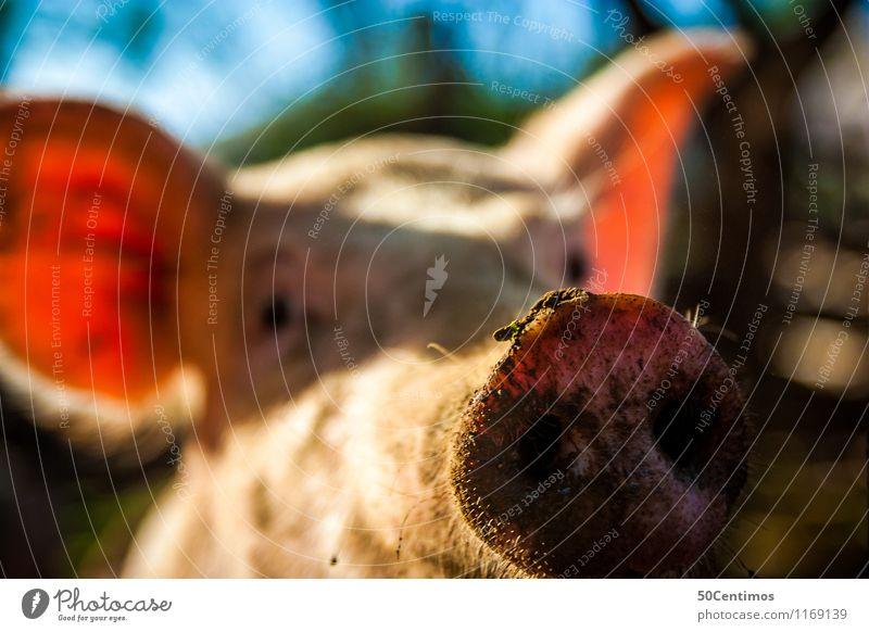 Das Schwein Tier Nutztier Sau Schweinschnauze 1 Blick Glück Farbfoto Außenaufnahme Menschenleer Tag Schwache Tiefenschärfe Tierporträt
