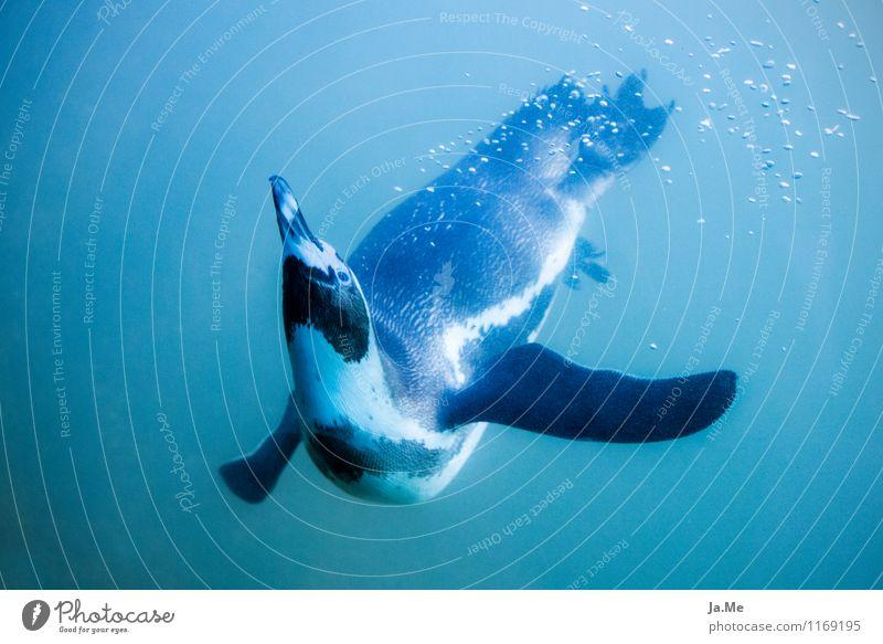 Unterwasserballet Natur blau Wasser Tier Umwelt Schwimmen & Baden Vogel Wildtier Tanzen Geschwindigkeit Neugier tauchen Tiergesicht Pinguin