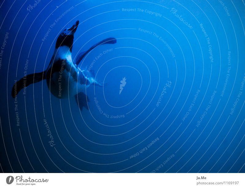 Unterwasser Flugshow Natur blau schön Wasser Tier Umwelt natürlich Schwimmen & Baden fliegen Vogel Wildtier Flügel Geschwindigkeit beobachten Neugier tauchen