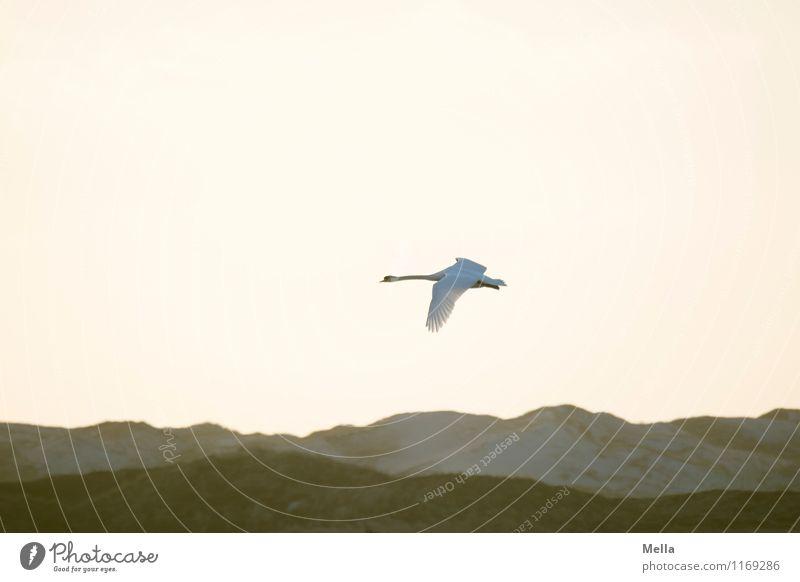 Gegenlichtschwan Umwelt Natur Luft Himmel Hügel Düne Tier Wildtier Vogel Schwan 1 fliegen frei hell natürlich Stimmung Freiheit Leichtigkeit Perspektive