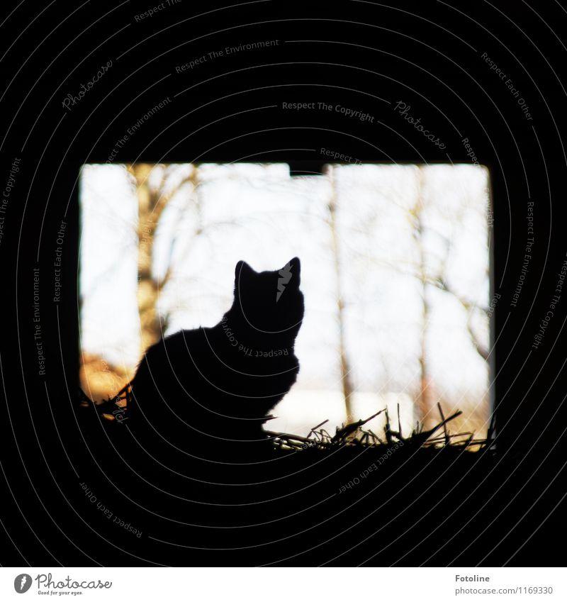 Auf dem Bauernhof Umwelt Natur Pflanze Tier Schönes Wetter Baum Haustier Katze 1 hell schwarz Wachsamkeit Stroh Farbfoto Gedeckte Farben Außenaufnahme Tag Licht