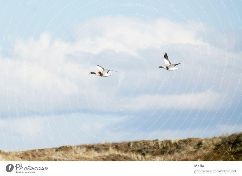 Unbekannte Flugsubjekte Umwelt Natur Tier Luft Himmel Wildtier Vogel Entenvögel 2 Tierpaar fliegen frei Zusammensein natürlich Freiheit Leichtigkeit
