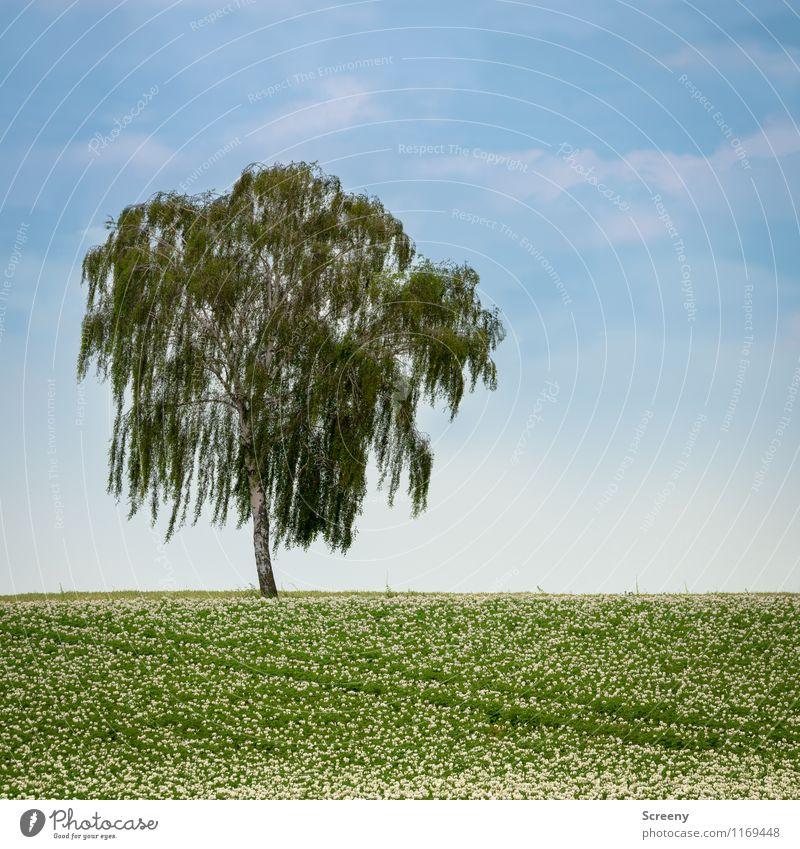 Baum Umwelt Natur Landschaft Pflanze Himmel Wolken Frühling Schönes Wetter Birke Kartoffeln Feld Wachstum blau grün ruhig Landwirtschaft Farbfoto Außenaufnahme