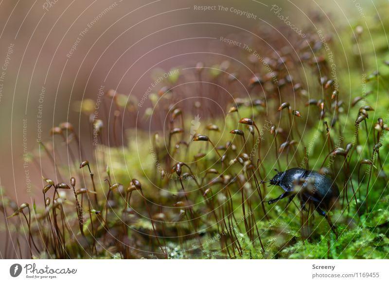 Auf Abenteuerreise... Natur Pflanze Tier Frühling Moos Wald Käfer Mistkäfer 1 krabbeln frisch klein braun grün schwarz Tapferkeit Optimismus Erfolg Kraft