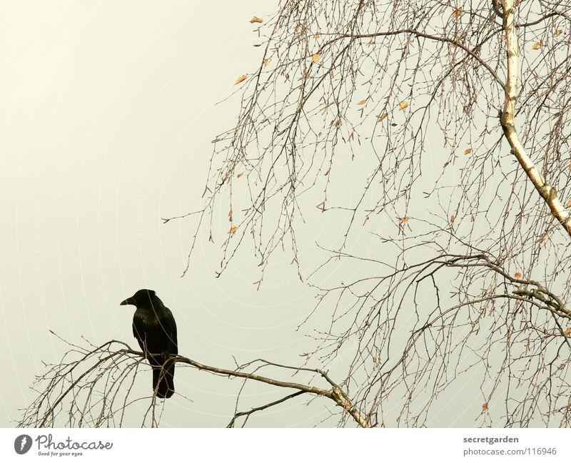 piepmatz. Krähe Rabenvögel Vogel Baum Blatt laublos Winter Herbst hocken hockend Raum schlechtes Wetter Wolken ruhig Erholung Trauer Langeweile Pause gefährlich