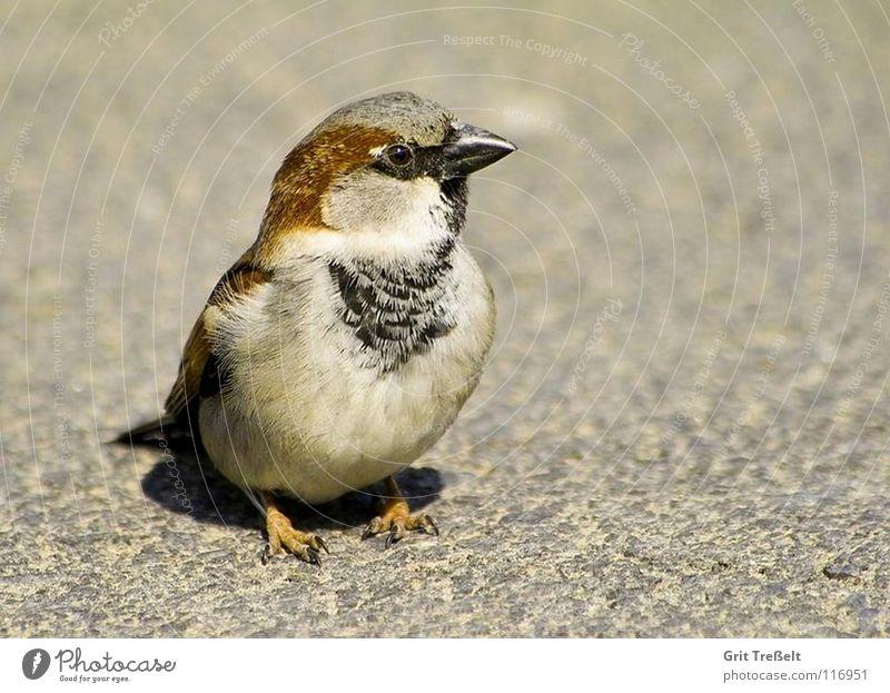 Spatz Vogel laufen süß Feder Schnabel hüpfen
